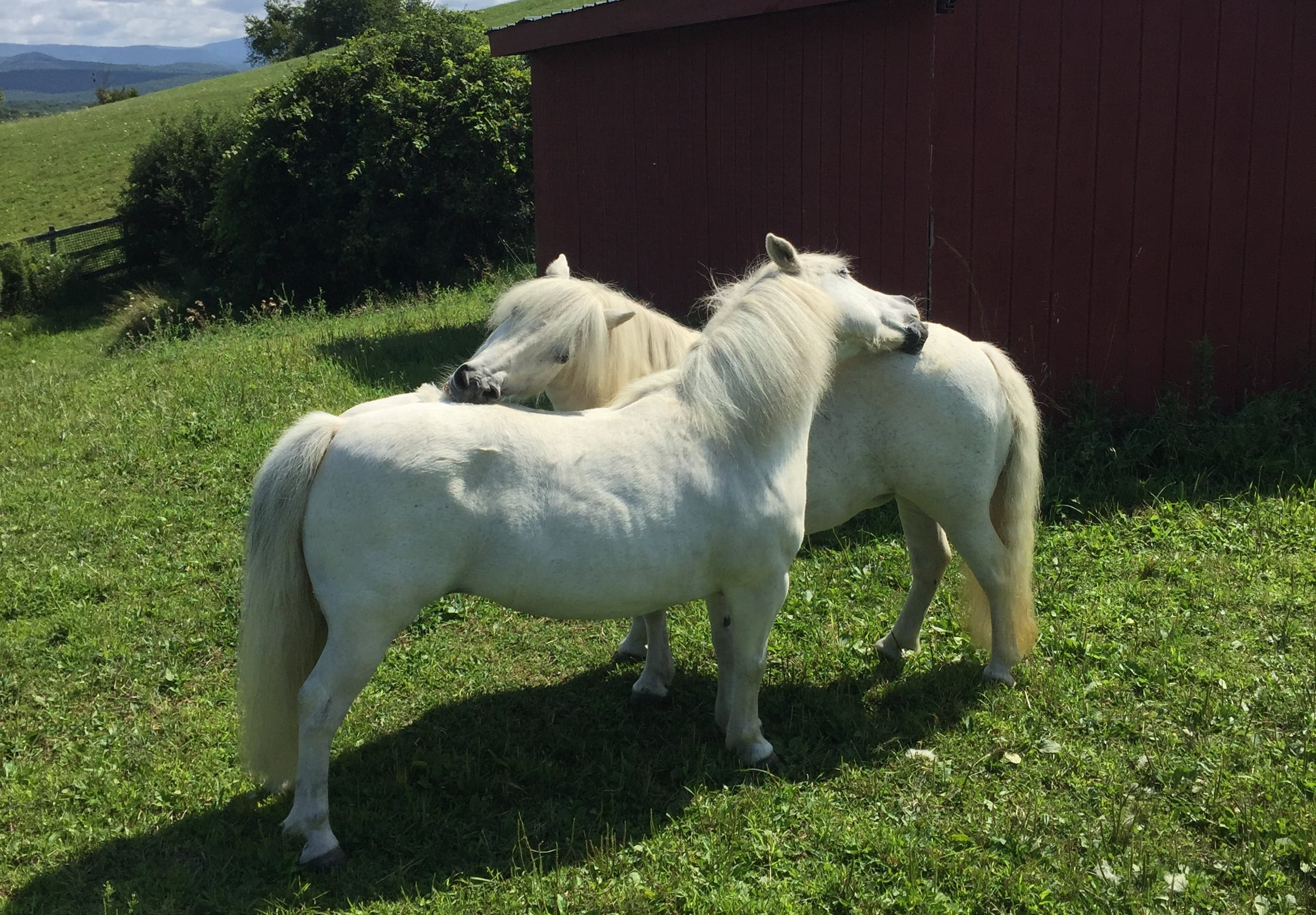 Ponies bitting each other