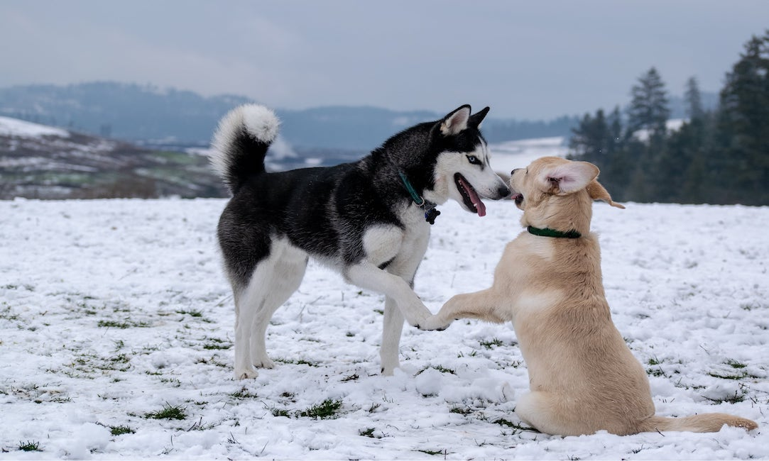 Husky and Yellow Lab